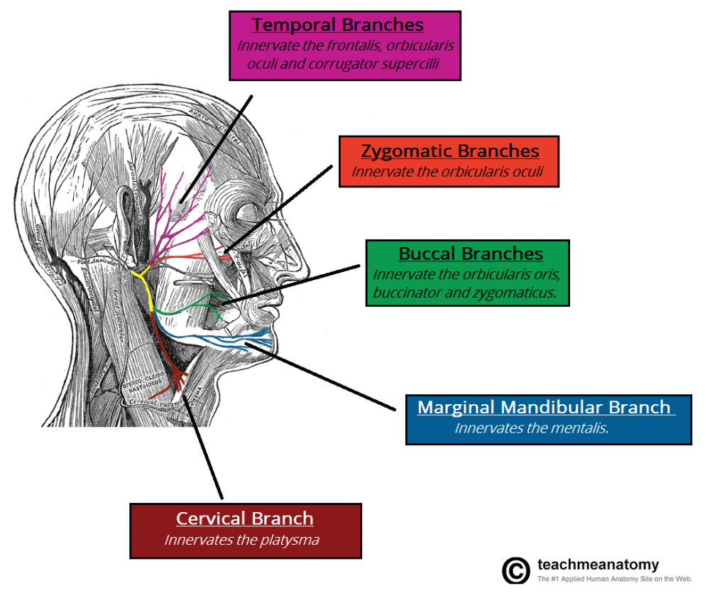 Motor-Branches-of-the-Facial-Nerve-1024x849
